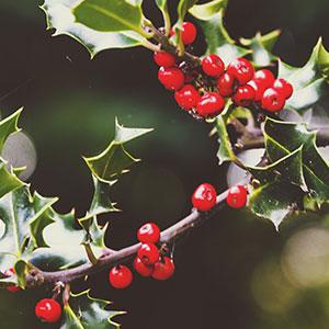 Crimson Berries