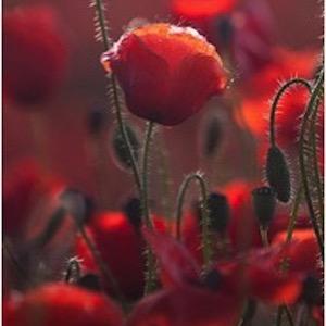 Dark Poppy