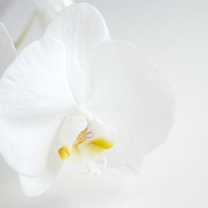 Fiori d'Orchidea