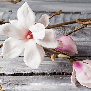 Magnolia Blossom & Wood