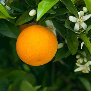 Legni e Fiori d'Arancio