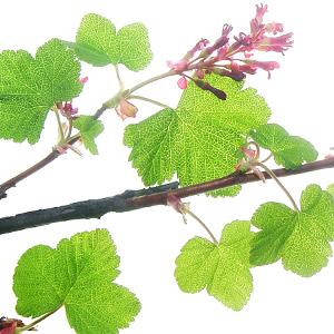 Grape Cassis